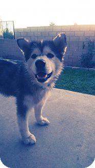 Alaskan Malamute Dog for adoption in Glendora, California - Sasha