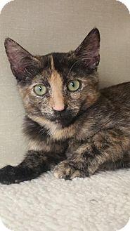 Domestic Shorthair Kitten for adoption in Walnut Creek, California - Melisandre
