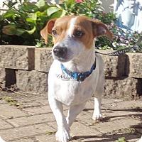 Adopt A Pet :: Peni - West Chicago, IL