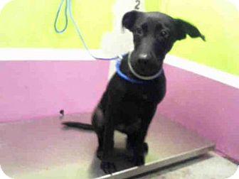Labrador Retriever Mix Dog for adoption in Houston, Texas - BRYNN