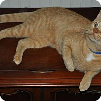 Domestic Shorthair Cat for adoption in Graniteville, South Carolina - Tiger