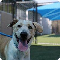 Adopt A Pet :: Bridget Jones - Brooklyn, NY