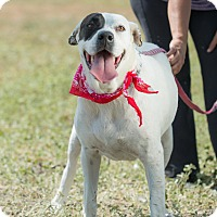 Labrador Retriever/Boxer Mix Dog for adoption in Santa Monica, California - Roxy