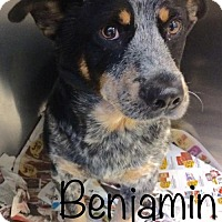 Australian Cattle Dog Mix Dog for adoption in Knoxville, Tennessee - Benjamin