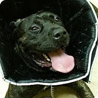 Adopt A Pet :: Raider - Reisterstown, MD