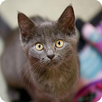 Domestic Shorthair Kitten for adoption in Kettering, Ohio - Grapeseed
