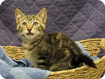 Domestic Shorthair Kitten for adoption in Redwood Falls, Minnesota - Caleb