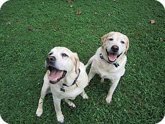 Labrador Retriever Dog for adoption in Towson, Maryland - Rossi & Slick