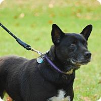 Labrador Retriever/Lancashire Heeler Mix Dog for adoption in Lebanon, Tennessee - Josie