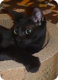 Bombay Cat for adoption in Orlando, Florida - Mable