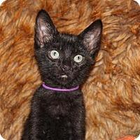 Adopt A Pet :: Thanksgiving: Wishbone - Las Vegas, NV