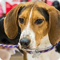 Harrier Dog for adoption in Hillside, Illinois - Max Under