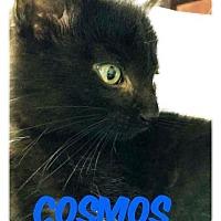 Adopt A Pet :: Cosmos - Putnam, CT