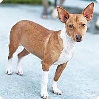 Adopt A Pet :: Ginnie - San Diego, CA
