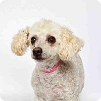 Adopt A Pet :: ROXY - Murray, UT