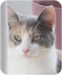 Calico Cat for adoption in Saint Clair Shores, Michigan - Pearl