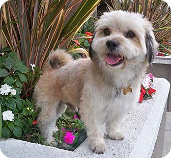HUNTER | Adopted Dog | Los Angeles, CA | Lhasa Apso ...  |Lhasa Dog Mix