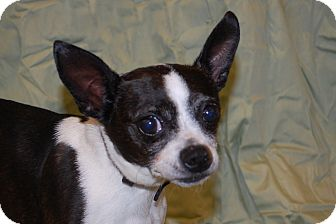 ... | Adopted Dog | Lexington, KY, KY | Boston Terrier/Chihuahua Mix