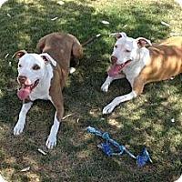 Adopt A Pet :: Darla - Gilbert, AZ