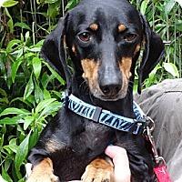 Adopt A Pet :: SIMPSON - Portland, OR