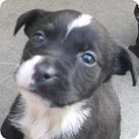 Adopt A Pet :: Bindi(ADOPTED!) - Chicago, IL