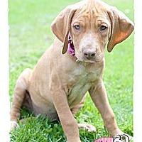 Adopt A Pet :: Tonga - Haverhill, MA