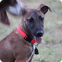 Adopt A Pet :: Gator - Austin, TX