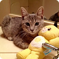 Domestic Shorthair Kitten for adoption in Madisonville, Louisiana - Hesse