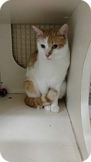 Domestic Shorthair Cat for adoption in Tampa, Florida - Gizmo