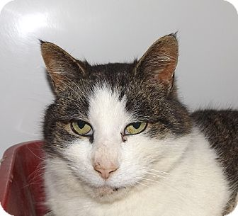 Domestic Shorthair Cat for adoption in Orleans, Vermont - Kentucky