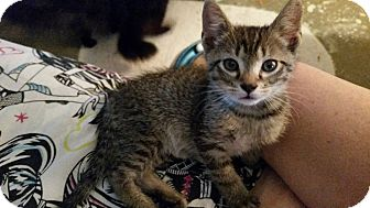 Domestic Shorthair Kitten for adoption in Ocala, Florida - Cade