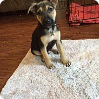 Adopt A Pet :: Aladdin (adoption pending) - Morrisville, NC