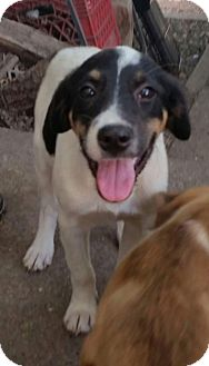 Labrador Retriever/Hound (Unknown Type) Mix Puppy for adoption in New Hartford, New York - Lab Hound Puppies - 3