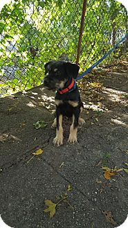 Giant Schnauzer/German Shepherd Dog Mix Puppy for adoption in West Warwick, Rhode Island - Jackson