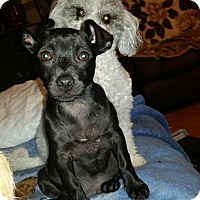Chihuahua Mix Puppy for adoption in Bellingham, Washington - George