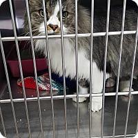 Domestic Longhair Cat for adoption in Cody, Wyoming - Hercules