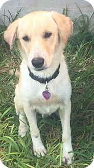 Labrador Retriever/Collie Mix Dog for adoption in Fort Worth, Texas - Voss