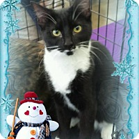 Domestic Shorthair Cat for adoption in Akron, Ohio - 7 month old Chardonnay