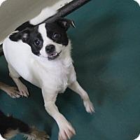 Adopt A Pet :: A16 Amelia - Odessa, TX