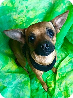 Chihuahua Mix Dog for adoption in Cleveland, Ohio - Neil Armstrong