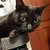 Domestic Shorthair Cat for adoption in New York, New York - Chloe