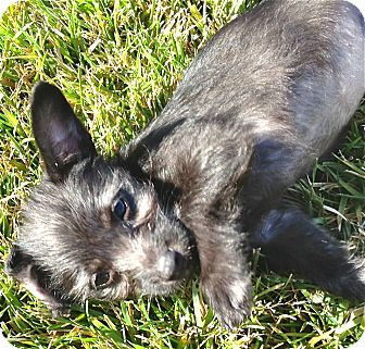 Cairn Terrier/Terrier (Unknown Type, Small) Mix Puppy for adoption in Los Angeles, California - Dior