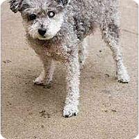 Adopt A Pet :: Katia - Portland, OR