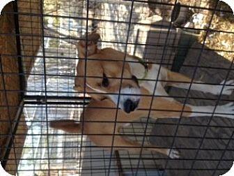 Labrador Retriever/American Staffordshire Terrier Mix Dog for adoption in North Pole, Alaska - Chaco