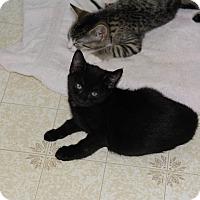 Adopt A Pet :: Cedar 4 - Plainville, MA