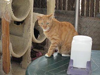 Domestic Shorthair Cat for adoption in Sherman Oaks, California - Monk Monk-for sponsonship
