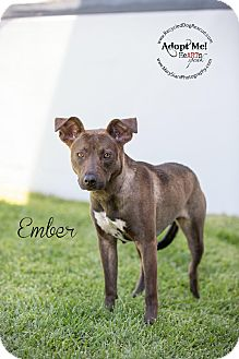 Greyhound/German Shepherd Dog Mix Dog for adoption in Long Beach, California - Ember