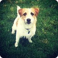 Adopt A Pet :: Shorty In Dallas - Dallas/Ft. Worth, TX