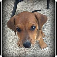 Adopt A Pet :: Clover - Indian Trail, NC