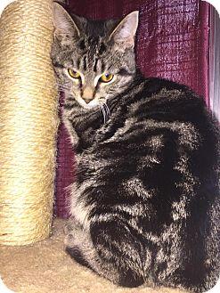 Domestic Shorthair Kitten for adoption in Davison, Michigan - Boden